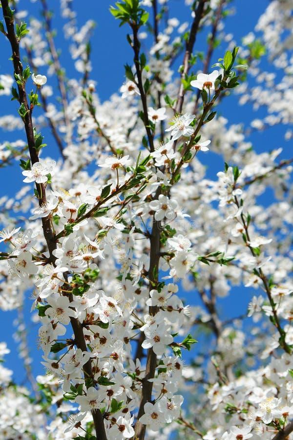 De bloesem van de kersenbloem in de lentetijd stock afbeeldingen