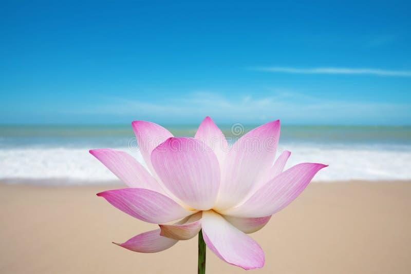 De bloesem van Lotus op strand stock foto's