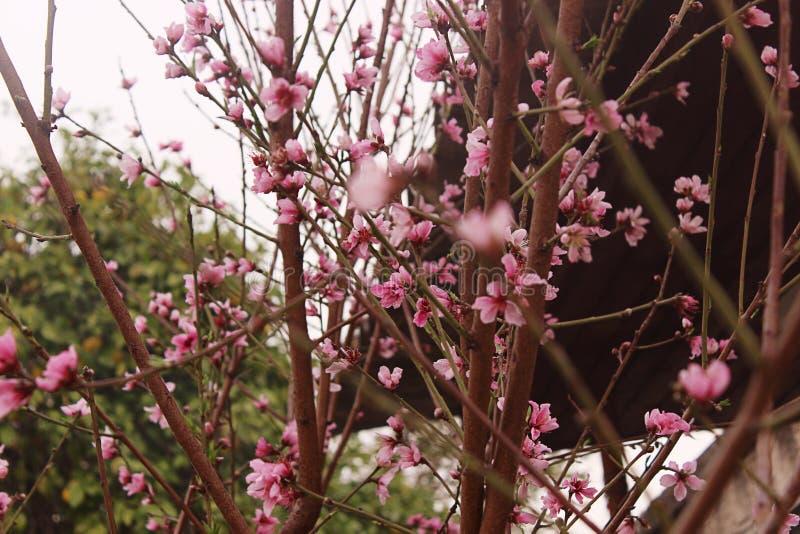 De bloesem van de perzik Perzikboom met mooie roze perzikbloemen royalty-vrije stock afbeeldingen