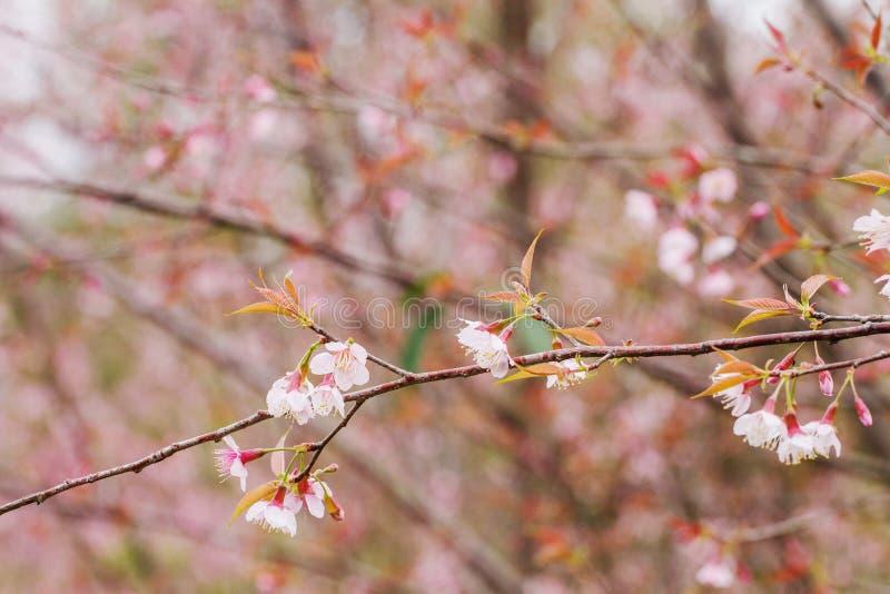 De bloesem van de Prunus cerasoides bloem in de mooie aard, evenals de achtergrond royalty-vrije stock foto