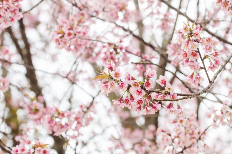 De bloesem van de Prunus cerasoides bloem in volledige berg met een koele achtergrond royalty-vrije stock foto