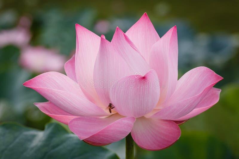 De Bloesem van Roze Lotus met de Bij royalty-vrije stock foto
