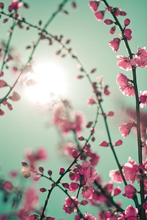 De bloesem van Sakura royalty-vrije stock afbeelding
