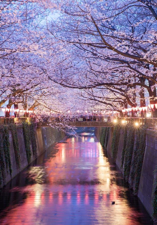 De bloesem van de sakurakers van Tokyo met omhoog licht stock afbeelding