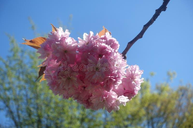 De bloesembloem van de close-up roze kers royalty-vrije stock foto