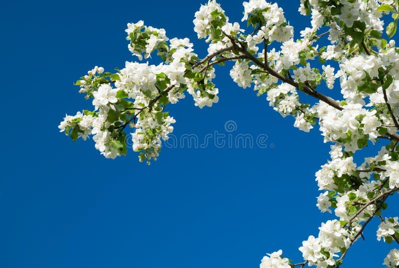 De bloesemboom over de aardlente bloeit blauwe hemel stock afbeeldingen
