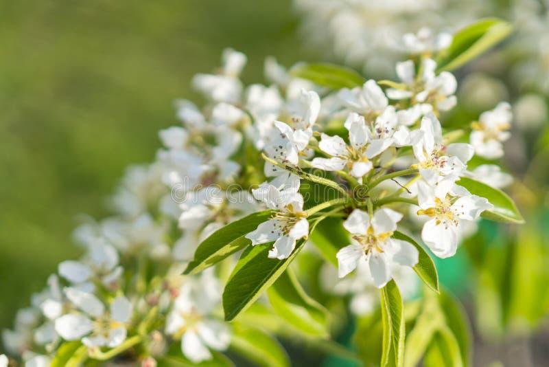 De bloesemclose-up van de perenboom Witte perenbloem op naturlachtergrond De bloesemclose-up van de fruitboom Ondiepe Diepte van  stock fotografie