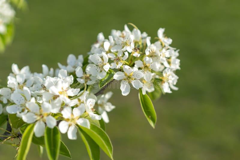 De bloesemclose-up van de perenboom Witte perenbloem op naturlachtergrond De bloesemclose-up van de fruitboom Ondiepe Diepte van  stock afbeelding