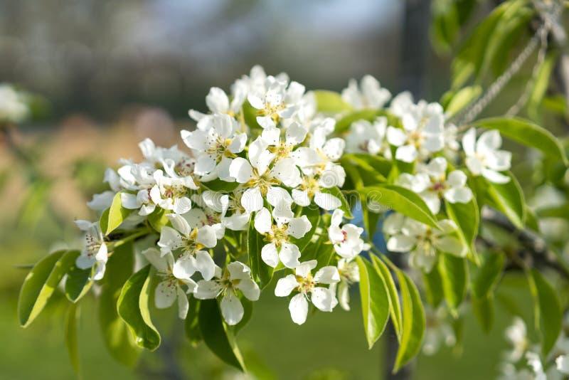 De bloesemclose-up van de perenboom Witte perenbloem op naturlachtergrond De bloesemclose-up van de fruitboom Ondiepe Diepte van  royalty-vrije stock afbeeldingen