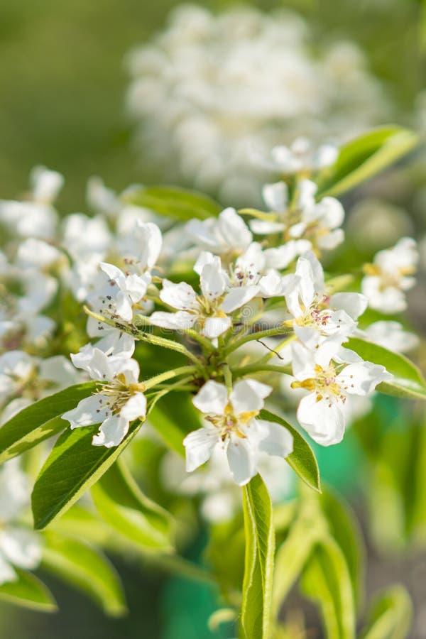 De bloesemclose-up van de perenboom Witte perenbloem op naturlachtergrond De bloesemclose-up van de fruitboom Ondiepe Diepte van  stock foto's