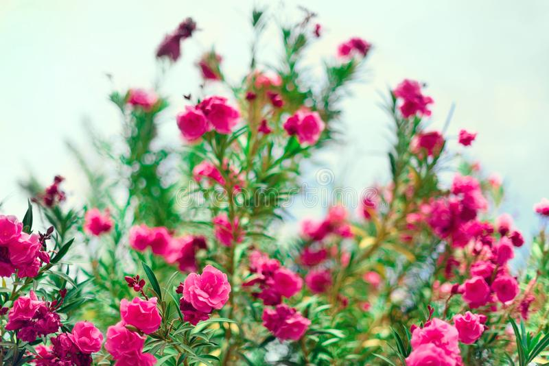 De bloesemlente, de exotische zomer, zonnig dagconcept Bloeiende roze oleanderbloem of nerium in tuin Wilde bloemen binnen royalty-vrije stock afbeeldingen