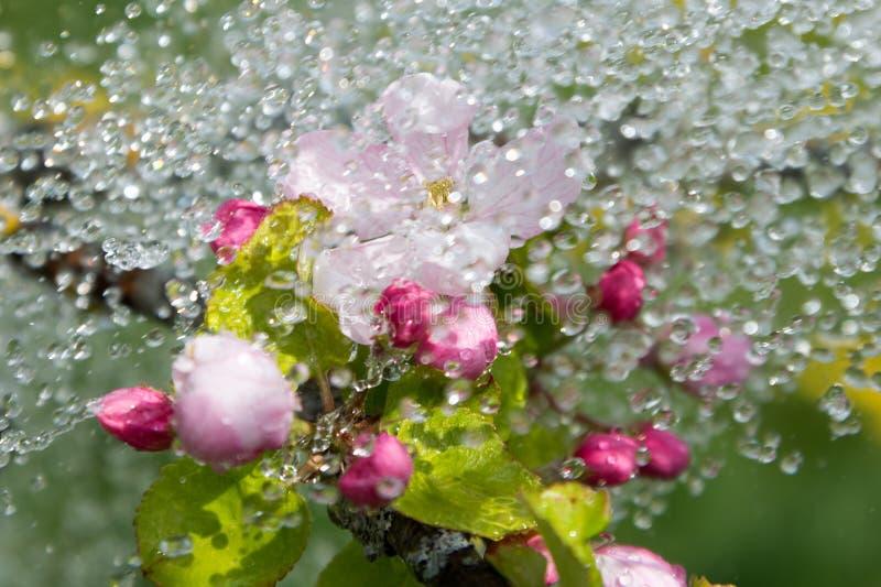 De bloesems en de regen van Apple royalty-vrije stock afbeeldingen