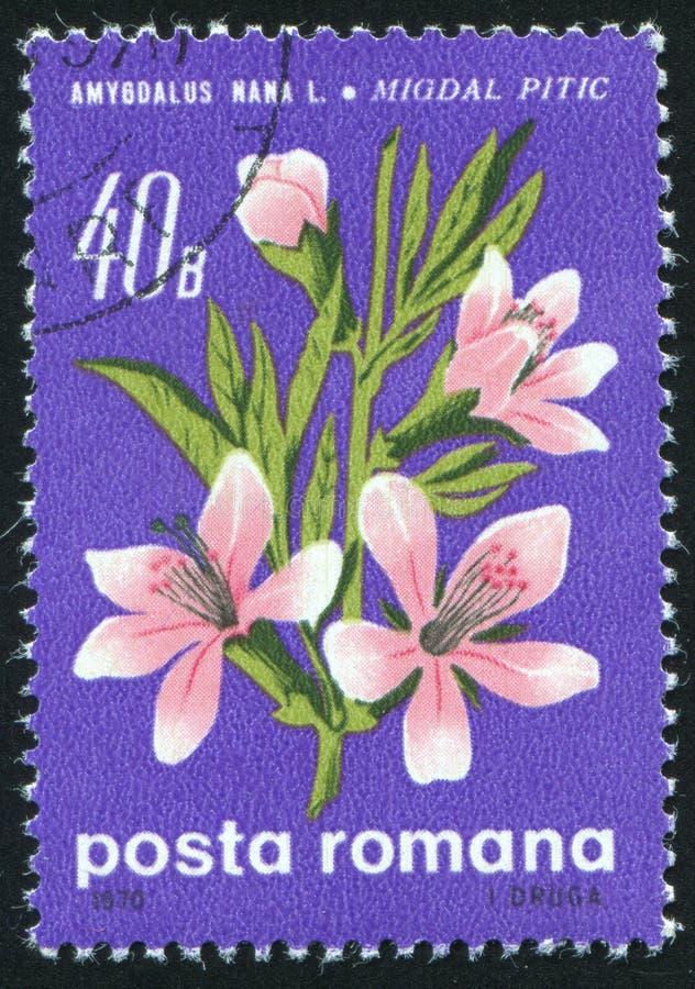 De bloesems van de amandelboom royalty-vrije stock foto