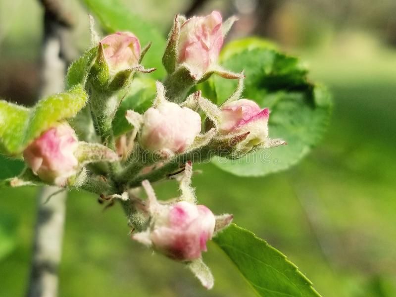 De bloesems van de appel stock afbeelding