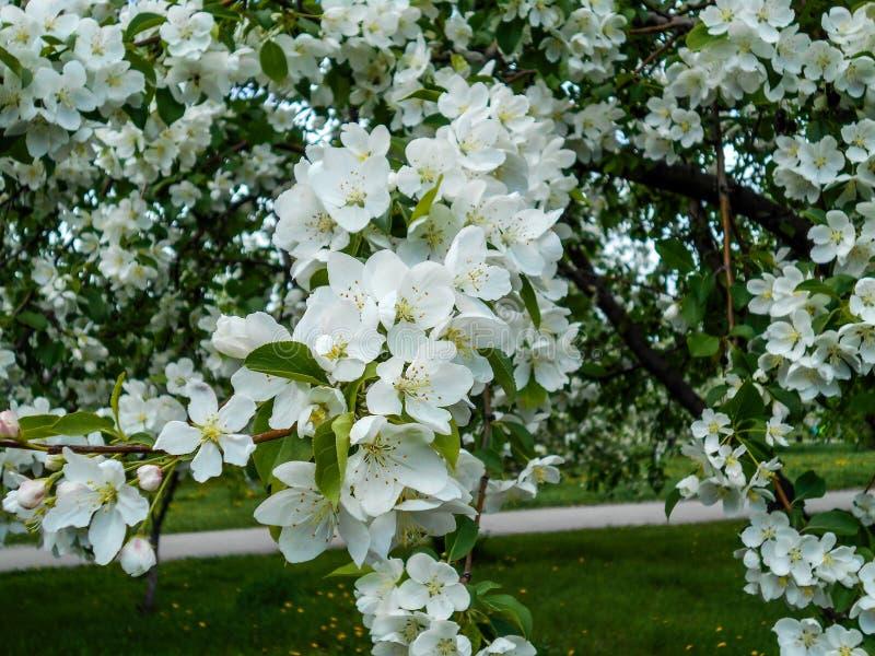 De bloesems van de appel in de lente Takken van tot bloei komende boom stock afbeelding