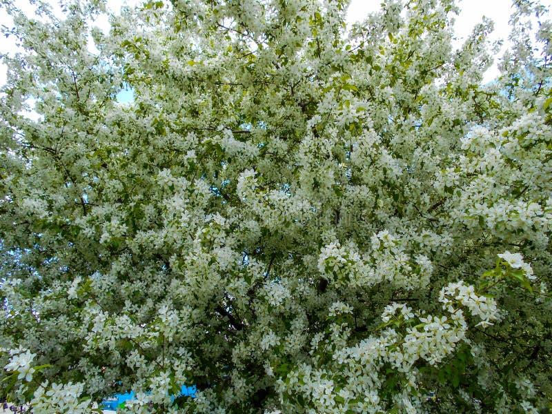 De bloesems van de appel in de lente Takken van tot bloei komende boom stock foto's