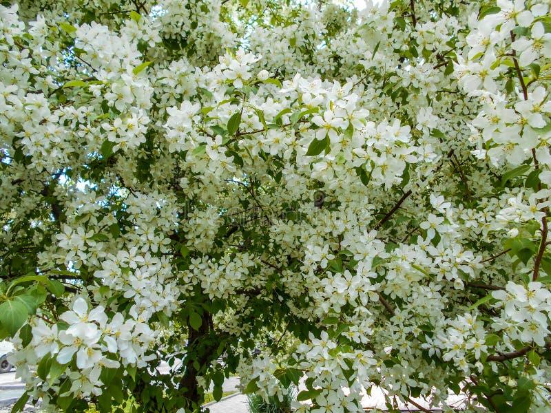 De bloesems van de appel in de lente Takken van tot bloei komende boom royalty-vrije stock afbeelding