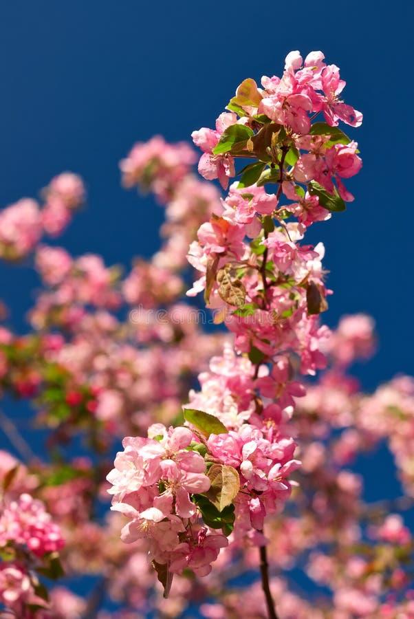 De bloesems van de appel tegen een blauwe hemel stock foto