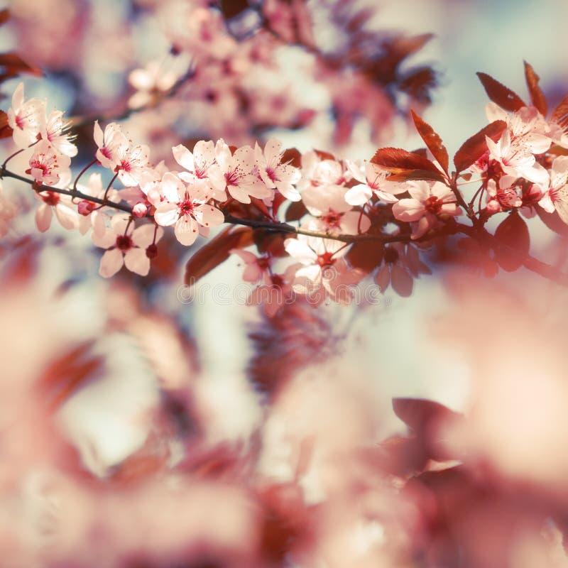 De bloesems van de fruitboom in vroege lentetijd stock fotografie