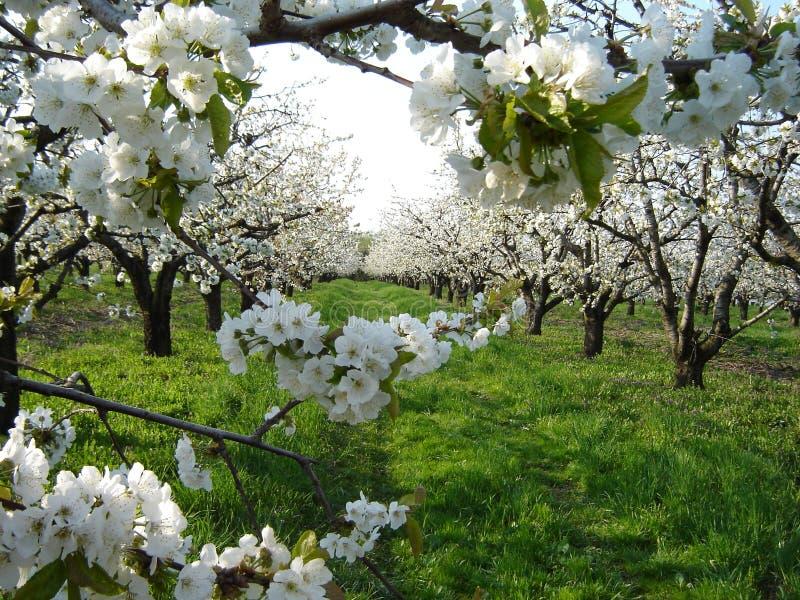 De bloesems van de kers in boomgaard stock fotografie