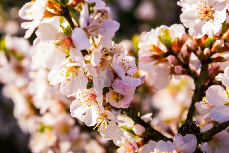 De bloesems van de kers in de lente royalty-vrije stock foto's
