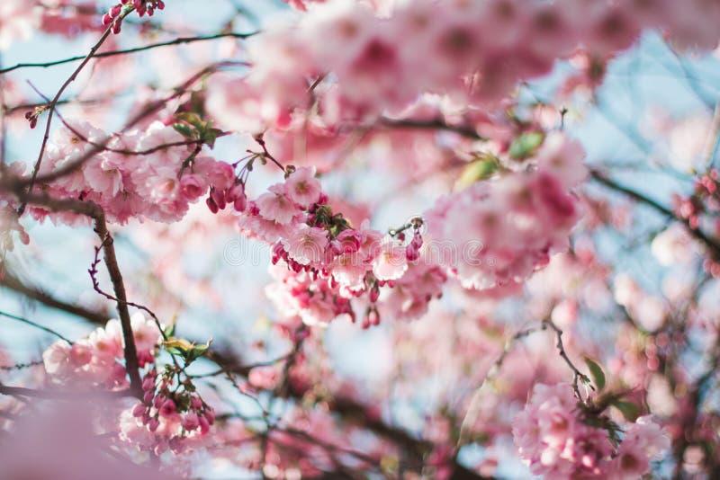 De bloesems van de kersenboom royalty-vrije stock foto's