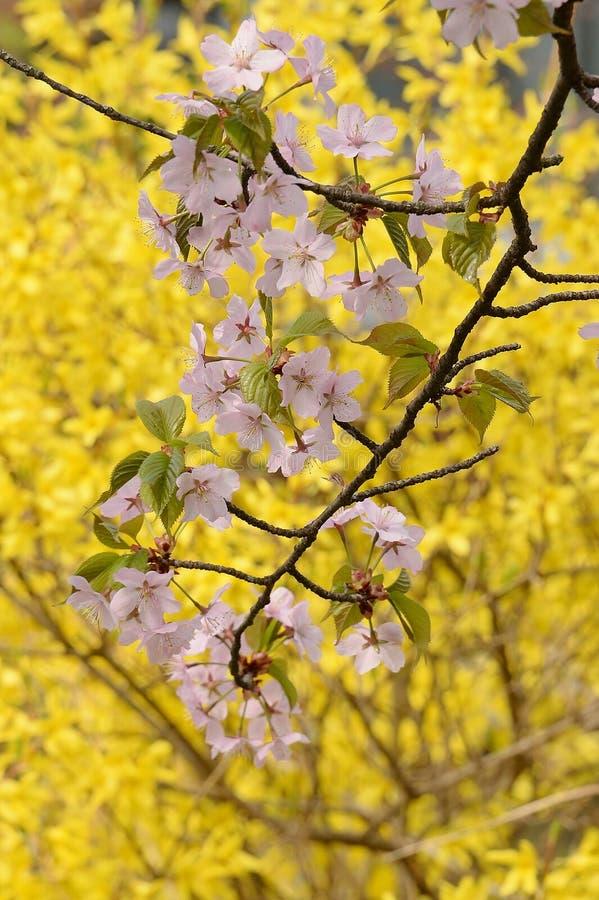 Download De Bloesems Van De Kersenboom En Gouden Forsythia Stock Afbeelding - Afbeelding bestaande uit geel, helder: 54091433