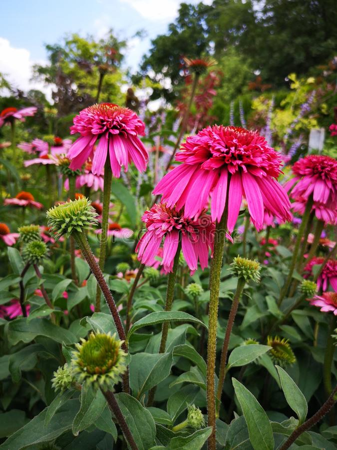 De bloesems van Echinaceapurpurea in tuin Roze Gerbera stock foto's