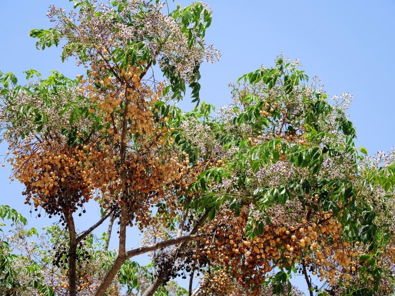 De bloesems van de Loquatstruik op een zonnige dag stock afbeeldingen