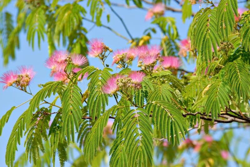 De Bloesems van mimosa's stock foto
