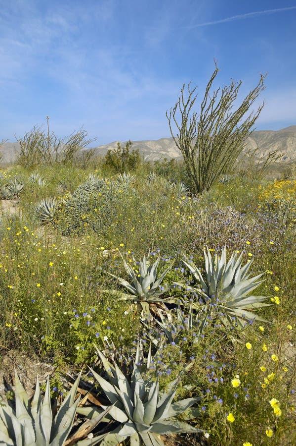 De bloesems van Ocotillo in de lentewoestijn royalty-vrije stock foto's