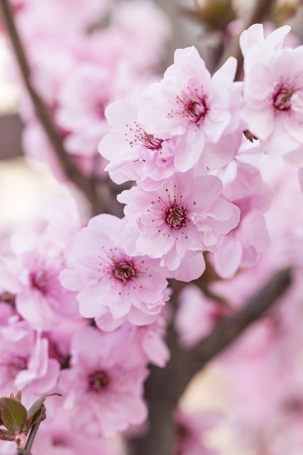 De bloesems van de pruim in de lente stock afbeelding