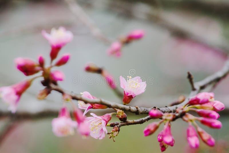 De bloesems van de Prunus cerasoides bloem zijn mooie aard als achtergrond stock foto's