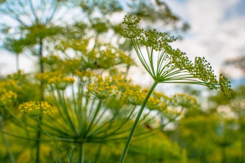 De bloesems van de tuindille tegen de hemel op een weide onder het bos royalty-vrije stock afbeeldingen