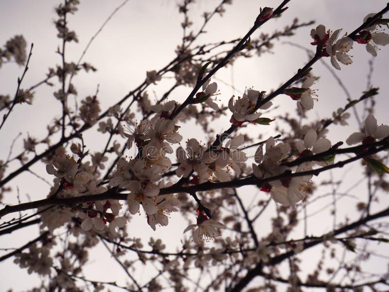 De bloesemstak van de de lenteñ herry boom  stock afbeeldingen