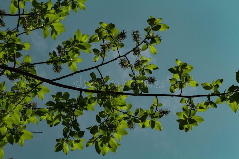 De blomstra körsbärsröda filialerna som tänds av solen på en sommardag i skogen royaltyfri foto