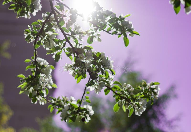 De blomstra k?rsb?rsr?da filialerna som t?nds av solen p? en sommardag i skogen royaltyfria bilder
