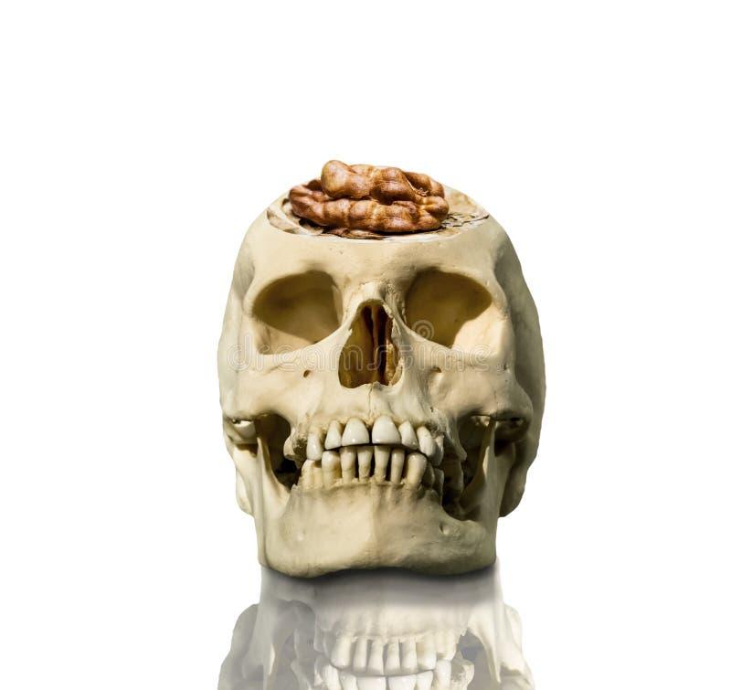 De blootgestelde schedel met de hersenen in de vorm van een okkernoot stock afbeeldingen