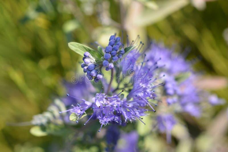 De Bluebeard bleu divinement images stock