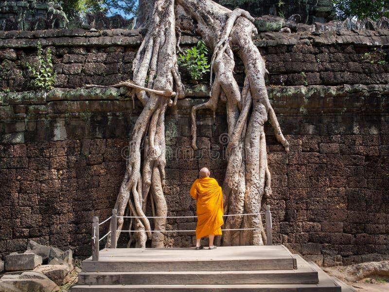 De boeddhistische Wortels van Monniksexamining giant tree bij Angkor-Tempel, Kambodja stock afbeeldingen