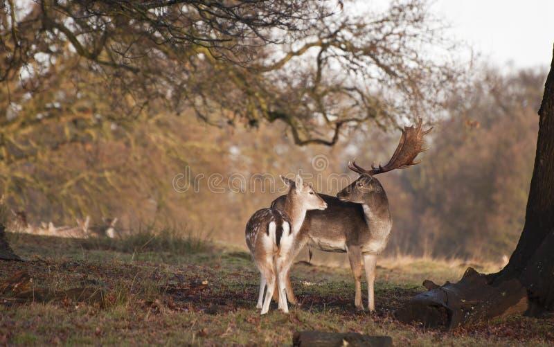 De bok en de damhinde van damherten in teder ogenblik in boslandschap stock afbeelding