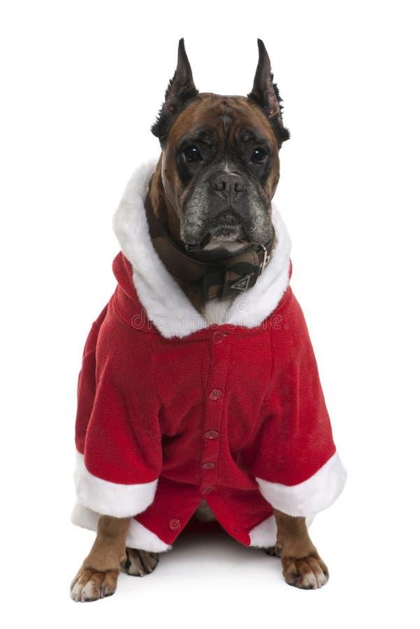 De bokser in Kerstman bedekt met een laag, 9 jaar oud royalty-vrije stock afbeelding