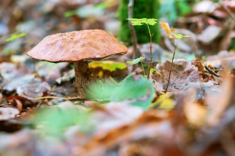 De boleetpaddestoel in het bos, de herfst schiet, paddestoel in het gras als paddestoelen uit de grond royalty-vrije stock foto's