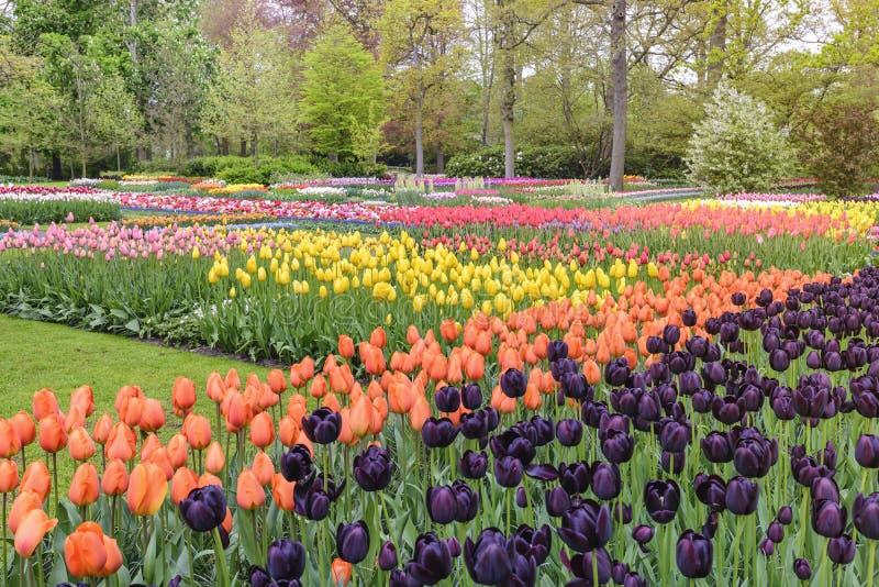 De bolgebied van de tulpenbloem in de tuin, Nederland royalty-vrije stock foto