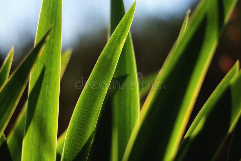 ` De Bollen` dichte omhooggaande mening van het te voorschijn komen irisbollen in ochtend stock afbeelding