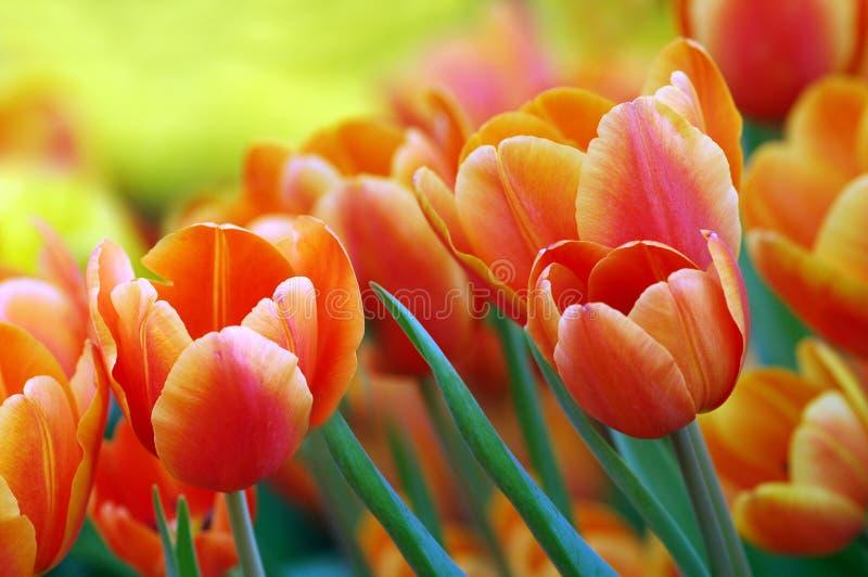 De Bollen van de lente stock afbeeldingen