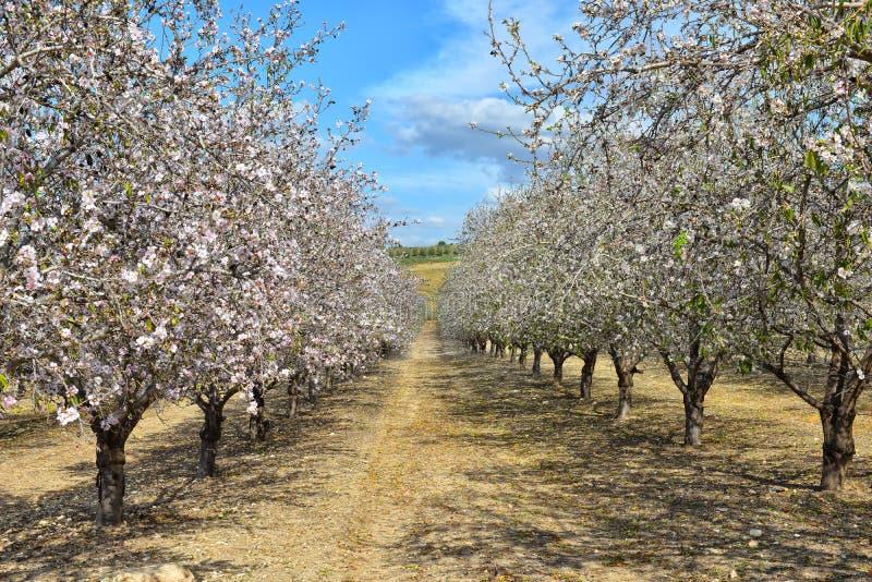 De bomen die van de amandel in roze en wit tot bloei komen royalty-vrije stock foto