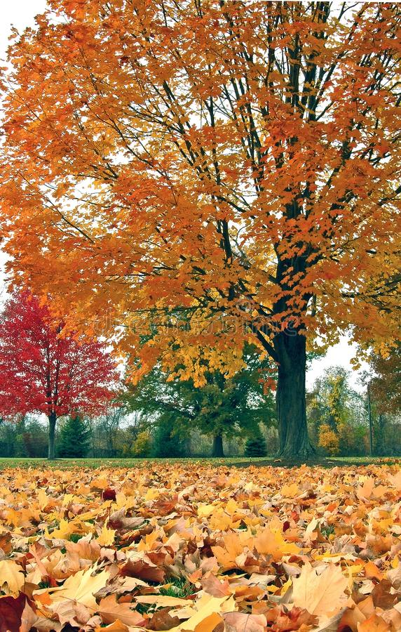 De bomen en de bladeren van de herfst royalty-vrije stock afbeelding