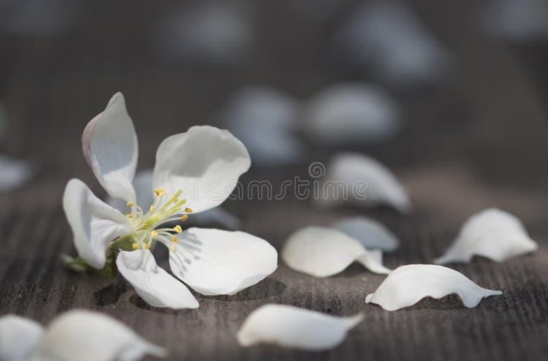 De bomen en de bloemblaadjes van Apple van de wind op een houten lijst s worden gelaten vallen dat royalty-vrije stock afbeelding