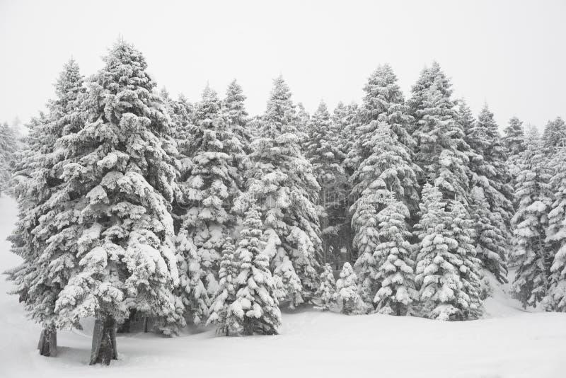 De Bomen en de Sneeuw van de pijnboom stock foto